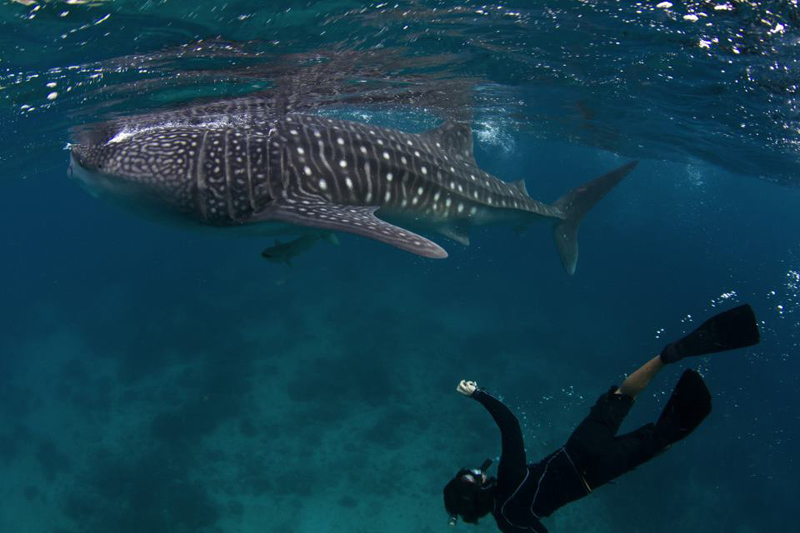 oslob whale shark watching cebu rent a car cebu 39 s